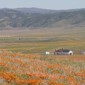 Every year from March to Middle of May Califonia Poppy blooms around here at the California Poppy Reserve.