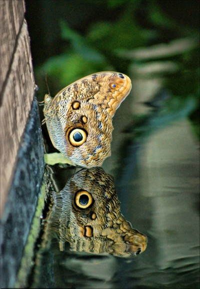 Butterfly Reflected