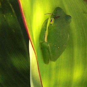 This tree frog is doing a very good job of blending in with my Canna leaves.  Sept. 30, 2009