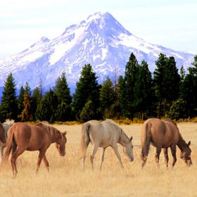 Wild horses on the Kahneeta Indian reservation with Mt. Hood in the background.