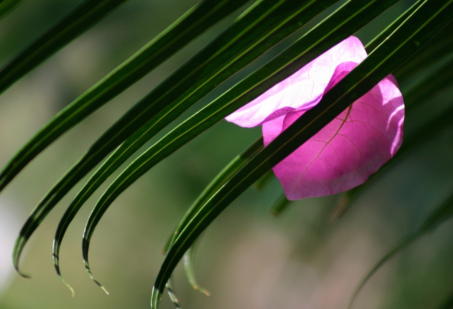A single lavender bloom that has come to rest on deep green foliage