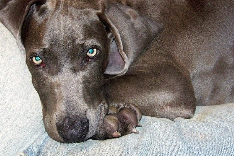 My name is Bella belongs to Weimaraner