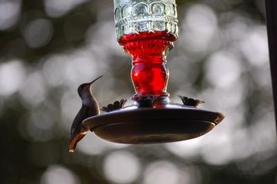 Hummingbird in Geneseo.JPG