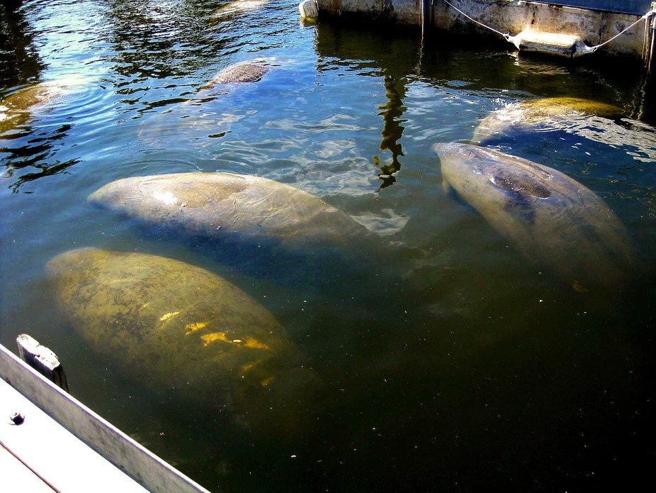 These Manatees converged on my dock for some reason. They need fresh water to drink and cannot dr...