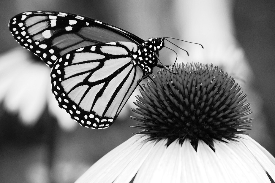 Monarch Moment B&W (1).jpg