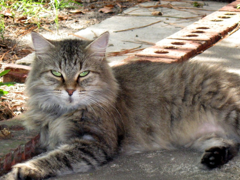 Maine Coon Cat.
