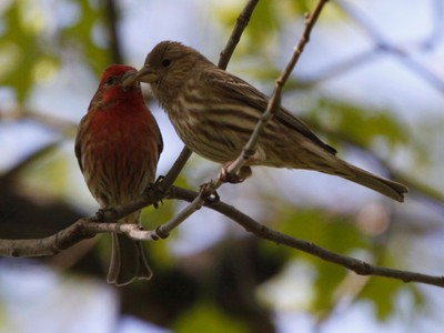 Kissing House finches