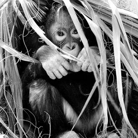 Resourceful and intelligent this baby Orangutan is working on her Homemaking skills! (B+W edit)