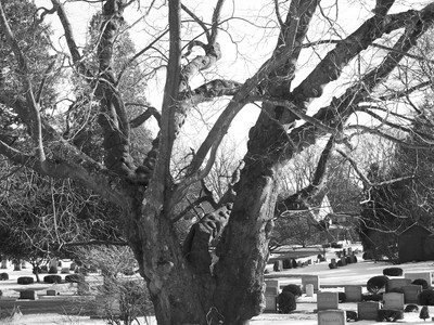 Old Cemetary Tree