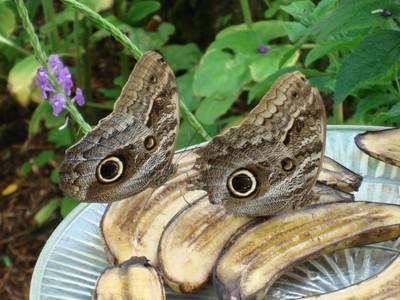 OwlButterflies