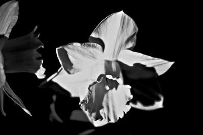 DPS 136-365 daffodil