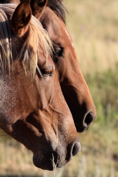 Profile of Wild Mustangs