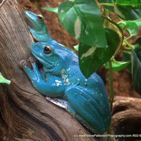 Beautifully marked poisonous tree frogs!