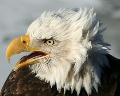 Eagle Prtrait