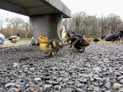 Fluffy Sweet Goslings
