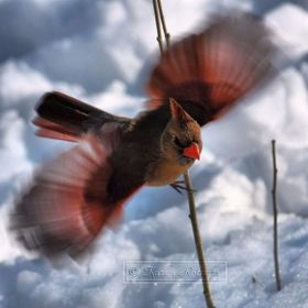 Female Cardinal Flying Over the Snow.   Look just to the right wing tip and see what you see...A mysterious spirit face in sunglasses!   Hey Paw ...