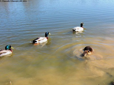 Three Ducks & You Are Out!