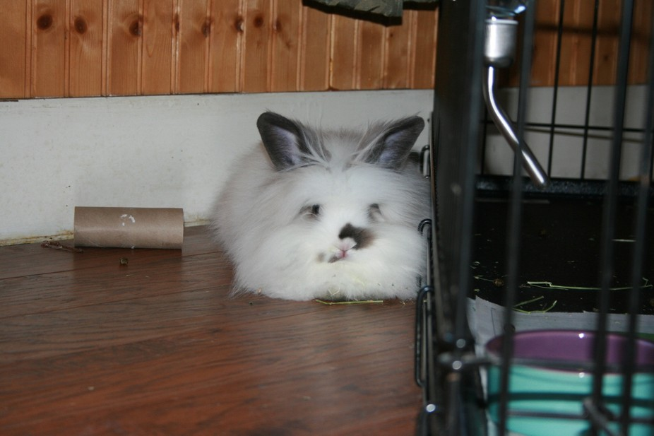 this is a loin head bunny