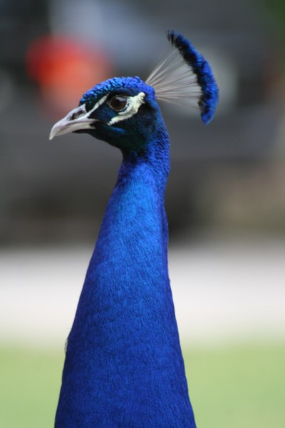Fred the Peacock