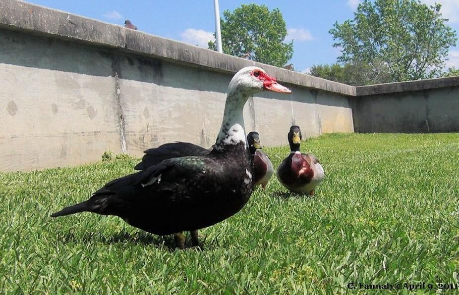 Ducks10  April 10, 2011