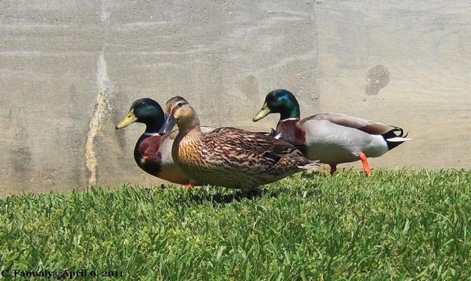 Ducks16 April 10, 2011