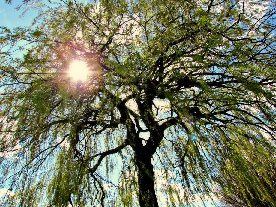 Happy Willow