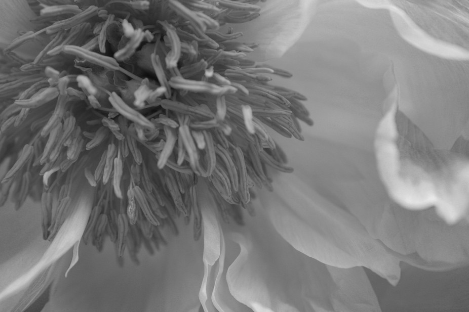 This is a close up of Chrysanthemum in black and white.  I took this photograph using my canon 55...