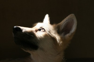 Wolf Pup wondering about the future of her species