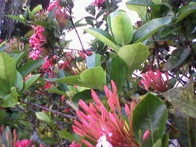 Pinkflowerz[1]