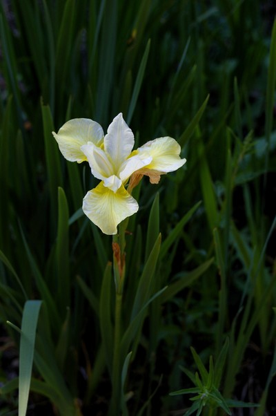 a single yellow iris
