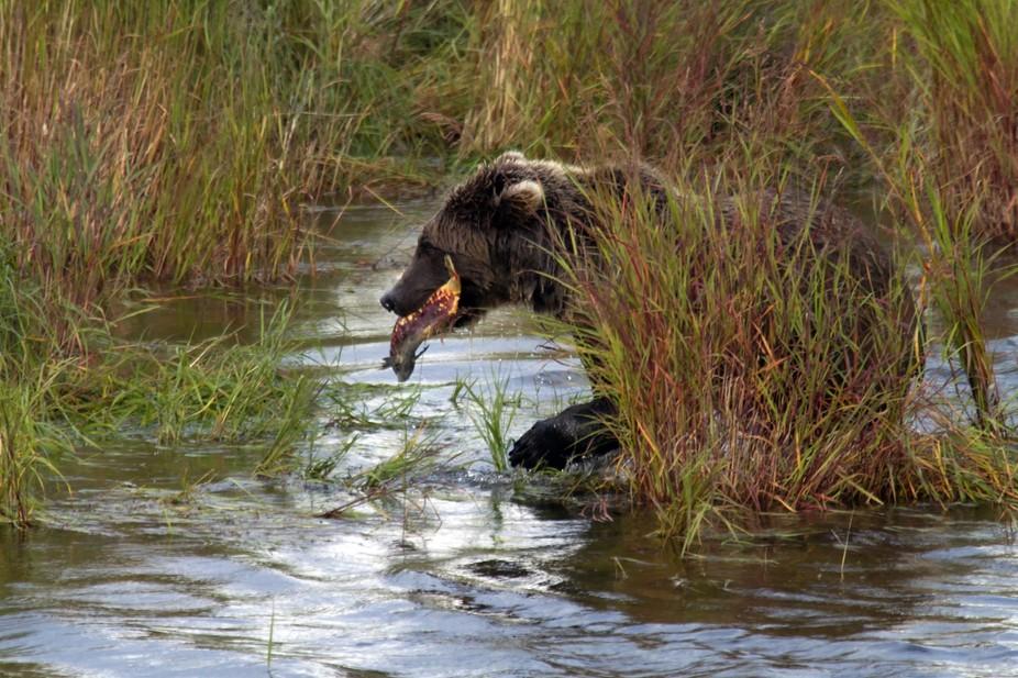 Brown Bear & Sockeye in the Reeds 201109041043