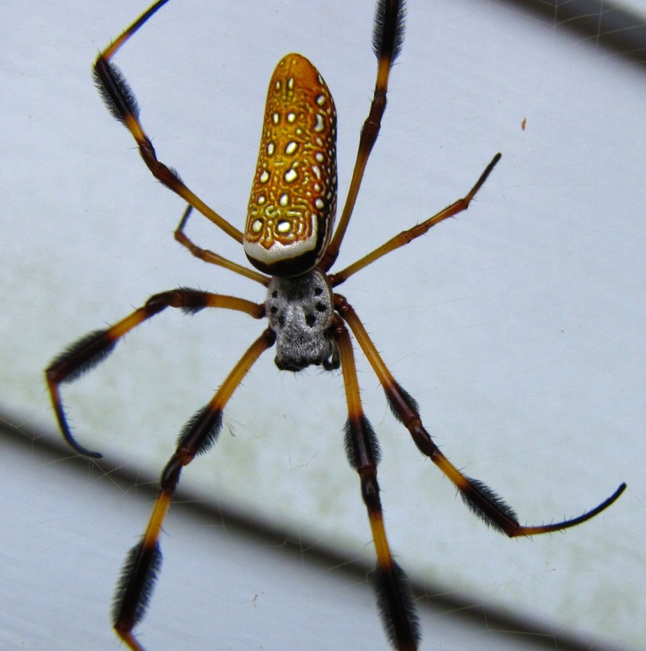 Golden Silk Spider (Banana Spider) - ViewBug.com