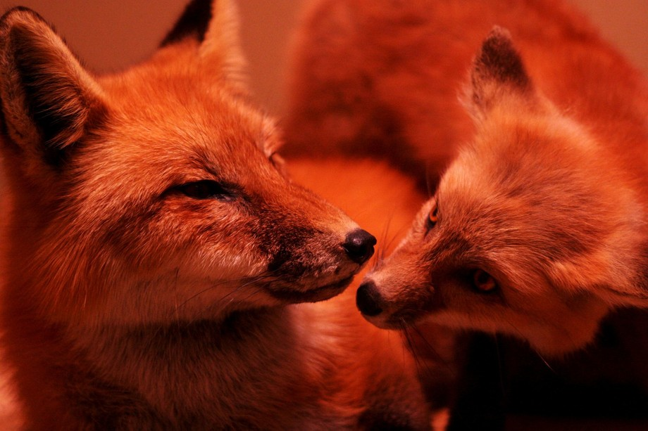 A mother Red Fox and her cub. Who says animals can't love? This exhibit can be seen at the Smithsonian in Washington D.C.