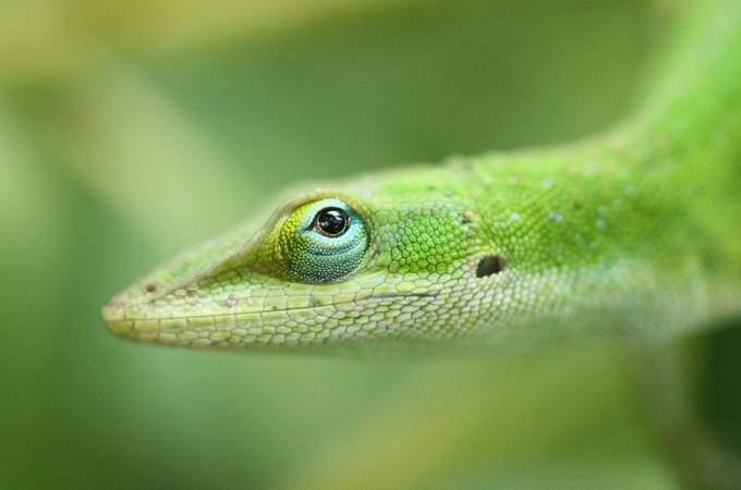lizard (3) by darrinb - Shallow Depth Of Field Photo Contest