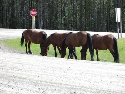 wild horsesdwild1