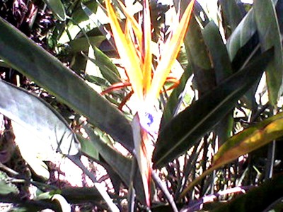 The beauty of bird of paradise