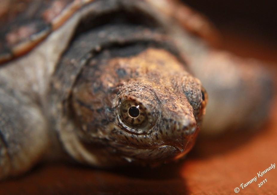 Angus the Turtle
