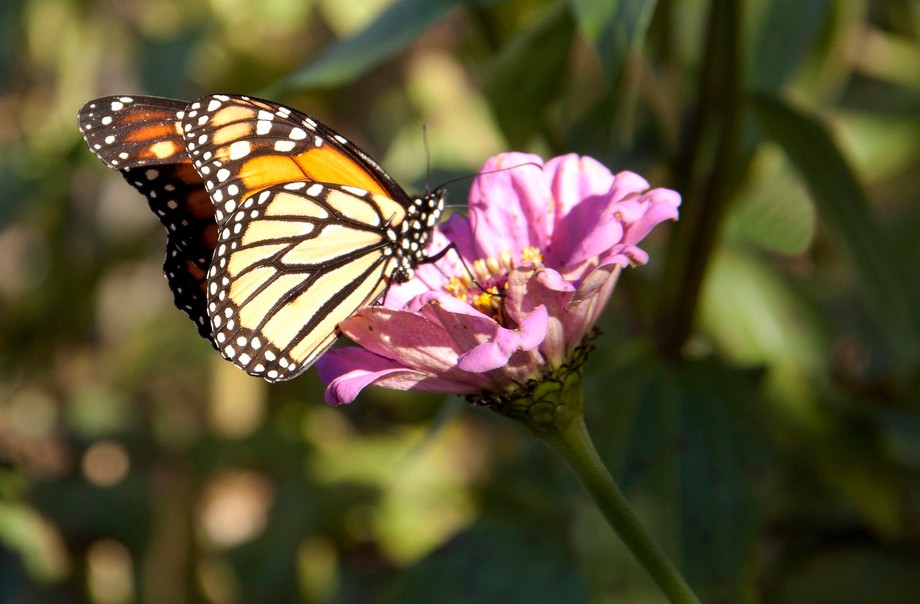 A butterfly landing on a pink Zinnia in Fall.