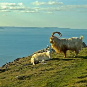 There is a large herd of Kashmir Goats living on the Orme, they were there today and I took advantage of the opportunity to photograph them.