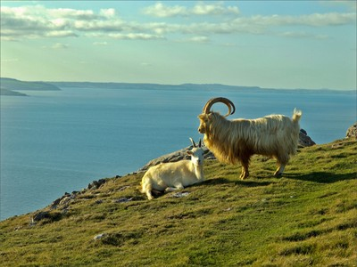 Great Orme Kashmir Goats