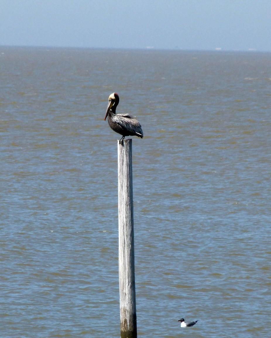pelicanfairhopepier03202011