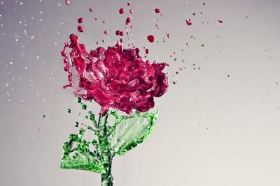 A Splash of Rose