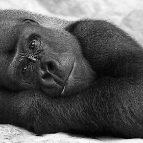 This is silverback gorilla from Warsaw Zoo. I was so touched by his human like expression of melancholy and longing... We will never know what he...