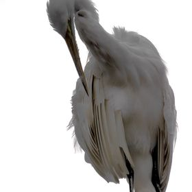 The Great Egret (Ardea alba), also known as the Great White Egret or Common Egret, White Heron, or (now not in use) Great White Heron, is a large...