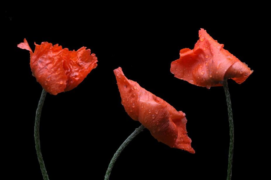 poppy red background - photo #26