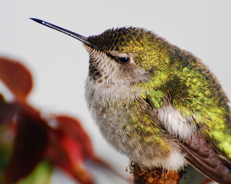 Female Anna\'s Hummingbird resting on a rose bush on a cold day.