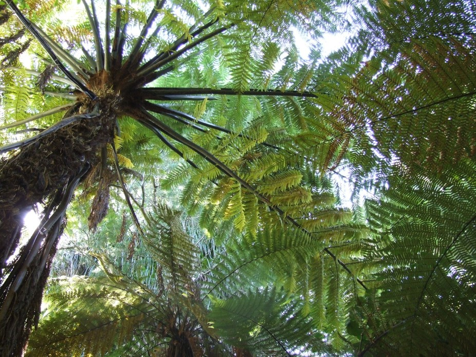 Looking Up - during a bush walk.Nikau Reserve NZ