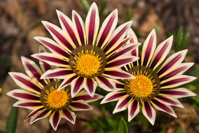 Flower Triplets
