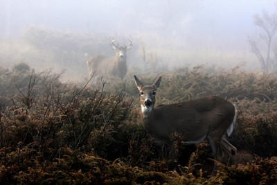 The rut is on - White-tailed deer