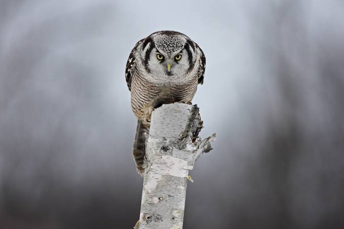 Staredown with a Hawk-owl by JimCumming - Depth In Nature Photo Contest